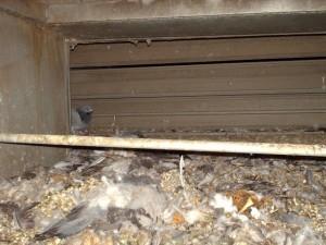 Pigeons Cause Devastating Indoor Air Quality And Hvac